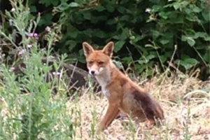 fox.jpg - Conservation Progress at Heene Cemetery