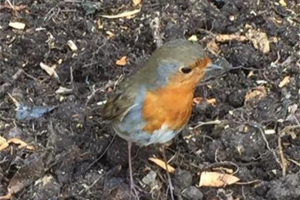 robin-visit-3-5-2016.jpg - Conservation Progress at Heene Cemetery