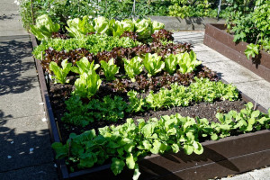 raised-vegetable-bed-at-boreham-essex-england.jpg - Ladbroke Grove Accessible Yoga Garden
