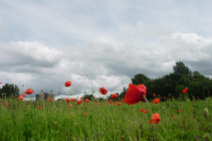 kingsway-park-poppy-meadow-25-7-07-050.jpg - Heroes Wood
