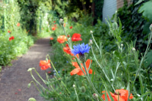 poppies-cornflowers ccu copy.jpg - Radbourne Robin Project