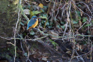 rs-489-kingfisher-at-wildneress-island-credit-david-fielding-1.jpg - Help reopen Camley Street Natural Park