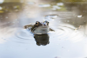 rs-2769-marsden-road-frogs-16-3-18-hi-res-2-1-daniel-greenwood.jpg - Help reopen Camley Street Natural Park