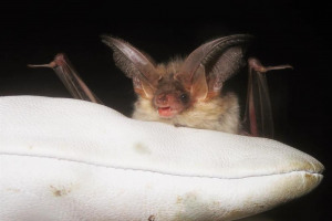 ble-bat.jpg - Ealing Wildlife Group Nature Reserve