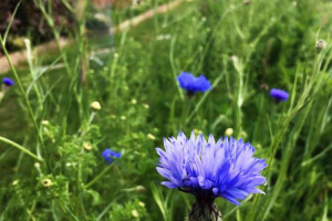 cornflowers.jpg - Tritton Vale Pocket Garden Goes Greener!
