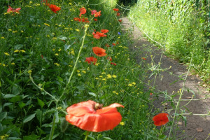 poppies and path ccu.jpg - Radbourne Robin Project