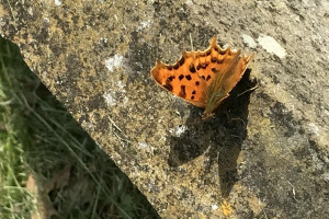 comma-18-6-18.jpg - Conservation Progress at Heene Cemetery