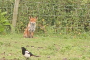 fox-and-magpie.jpg - Horseback Nature Trail