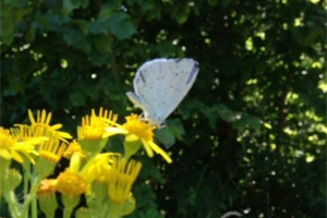 holly-blue-butterfly.jpg - Conservation Progress at Heene Cemetery