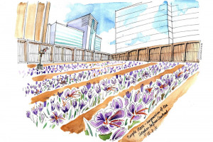 crocus-valley.jpg - Croydon Saffron Central