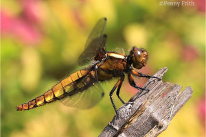 rs-1231-broad-bodied-chaser-female-040611-side-view-c-penny-frith.jpg - Help reopen Camley Street Natural Park