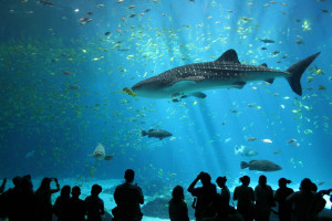 male-whale-shark-at-georgia-aquarium.jpg - Bubbles