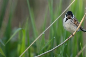 rs-520-reed-bunting-woodberry-wetlands-penny-dixie.png - Help reopen Camley Street Natural Park