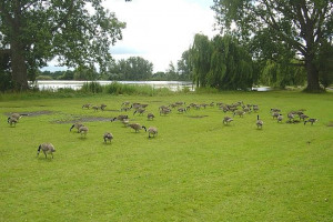 lakeside geese.jpg - Climb Stones at Wicksteed Park!