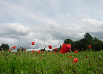 kingsway-park-poppy-meadow-25-7-07-050.jpg