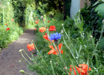 poppies-cornflowers ccu copy.jpg