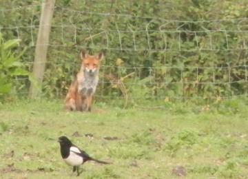 fox-and-magpie.jpg