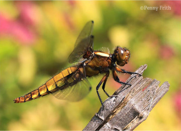 rs-1231-broad-bodied-chaser-female-040611-side-view-c-penny-frith.jpg
