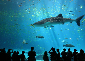 male-whale-shark-at-georgia-aquarium.jpg