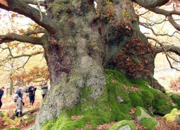 Chatsworth veteran tree.jpg
