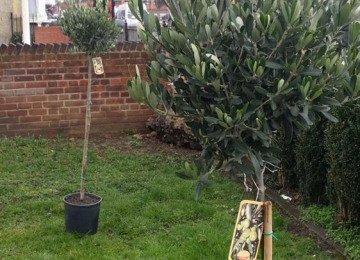 garden-space-olive-tree-planting.jpg
