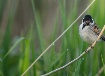 rs-520-reed-bunting-woodberry-wetlands-penny-dixie.png