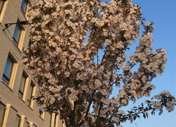 blossoms-on-play-street.jpg