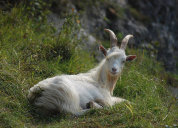 avon-gorge-goat-avon-gorge-downs-wildlife-project.jpg